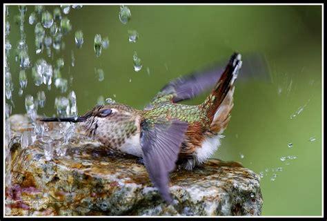 hummingbird bath sparrows and hummingbirds pinterest