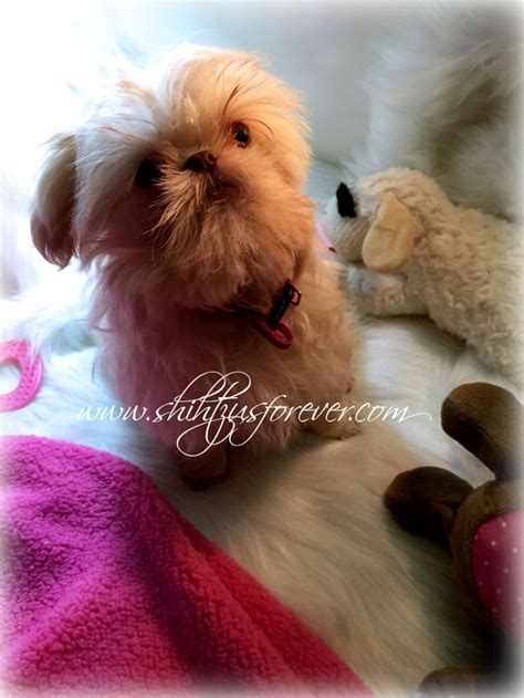 imperial shih tzu puppies for sale in iowa 17 best ideas about shih tzu for sale on shih tzu puppy shih tzu and baby