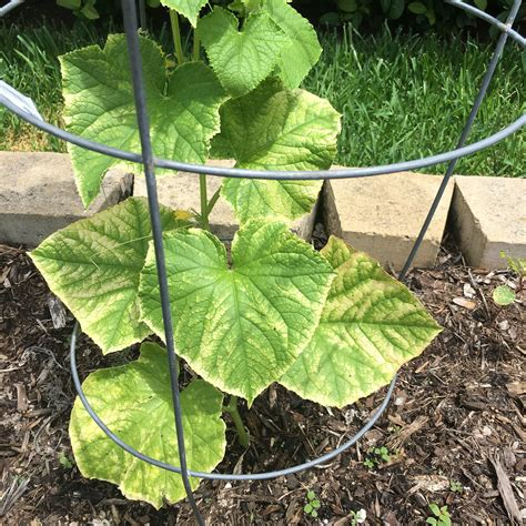 whats wrong with my whats wrong with my cucumber leaves gardening
