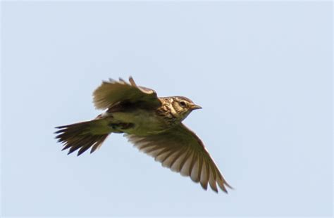 skylark flying