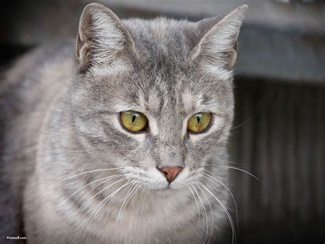 cat wallpaper grey grey cats with green eyes pictures gray cat with green