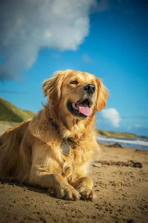 common golden retriever names best golden retriever names images