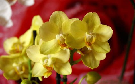 Orchid Yellow yellow orchid phalaenopsis