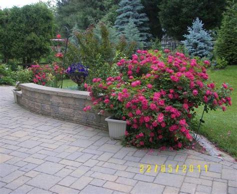 deadheading knockout roses knockout roses use tone organic fertilizer my