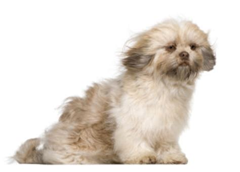 shih tzu grooming needs 5 benefits of daily shih tzu grooming shihtzu web