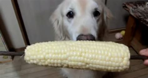dogs eat corn shows exclusive way of corn but does eats corn strange
