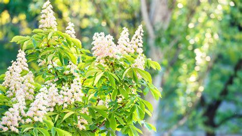 white chestnut fiori di bach white chestnut il fiore di ippocastano bianco lifegate