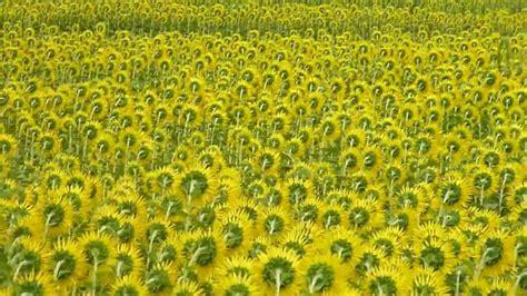 i fiori di gogh 021 girasoli i fiori di gogh