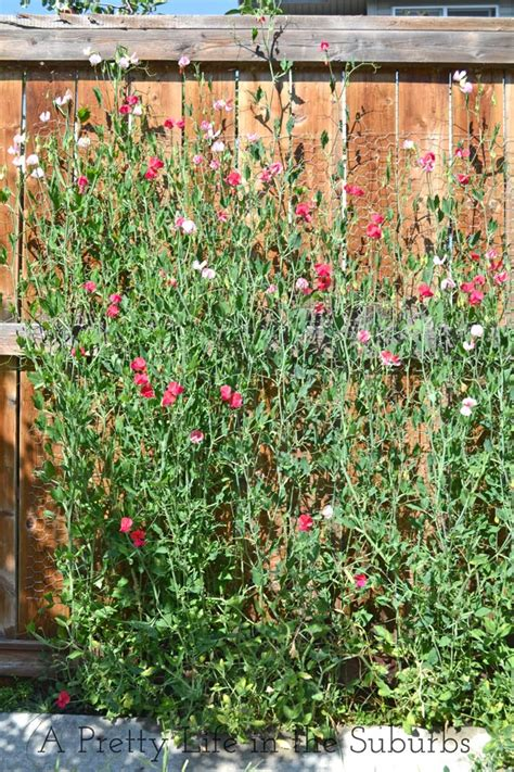 growing sweet peas archives a pretty life in the suburbs