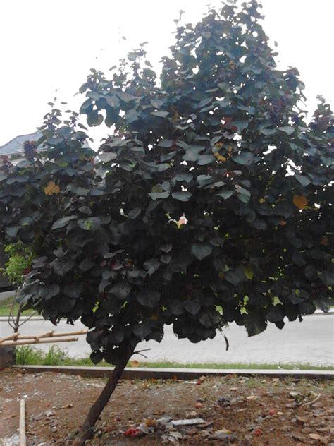 pohon waru ungu pohon pelindung tanaman hias tukang
