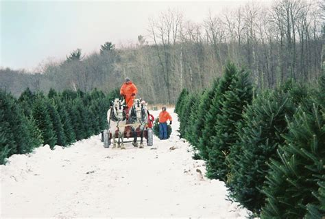 cut your own real christmas tree at whispering pines tree