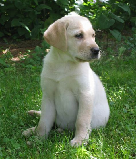 dogs like golden retrievers like dogs golden retriever vs labrador puppy images litle pups