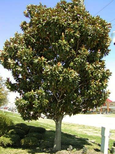 why does my little grem magnolia have dark brown leaves 25 best ideas about magnolia trees on landscaping trees pink trees and trees to plant