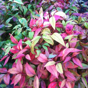 dwarf nandina nana   plants garden supplies