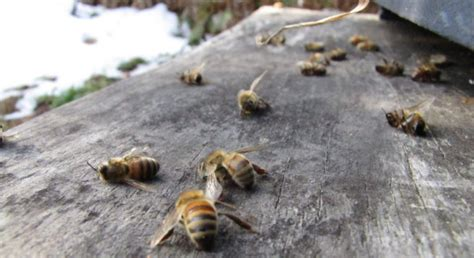 dead bees in house dead bees in house a new farm trend spectator chores