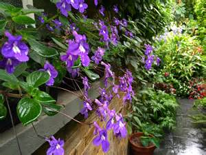 Plants For Shady Areas Daily Flower Candy Streptocarpus Saxorum The Frustrated