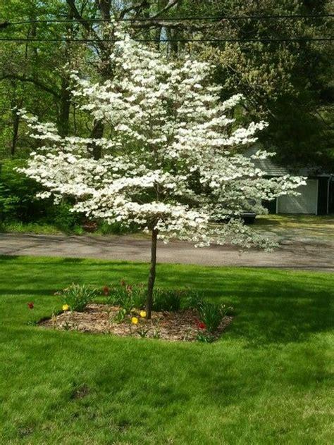 best 25 dogwood trees ideas on pinterest flowering trees pink dogwood and cherry shrub image