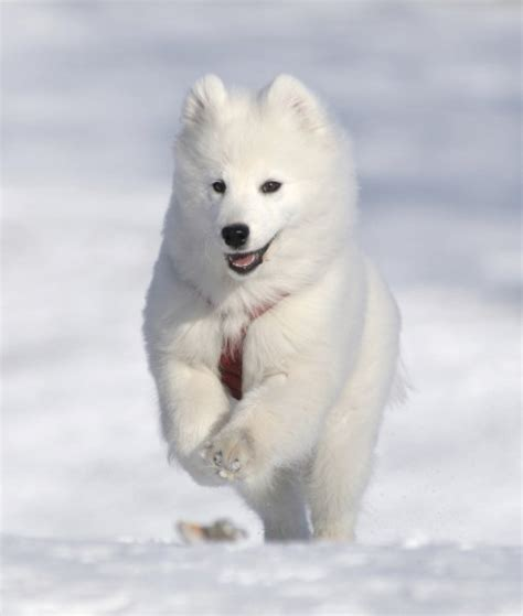 snow dogs 2 10 breeds built for snow samoyed
