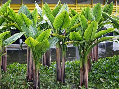 tanaman air hias  kebun rumah