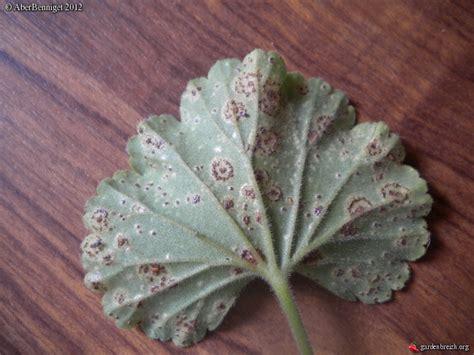 Maladie Des Geraniums maladies et ravageurs des p 233 largoniums chapitre 10