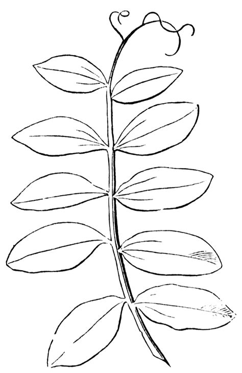 simple leaf template coloring home