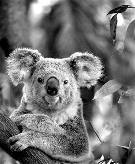 black koala 29 best images about baby koala on pinterest pictures of