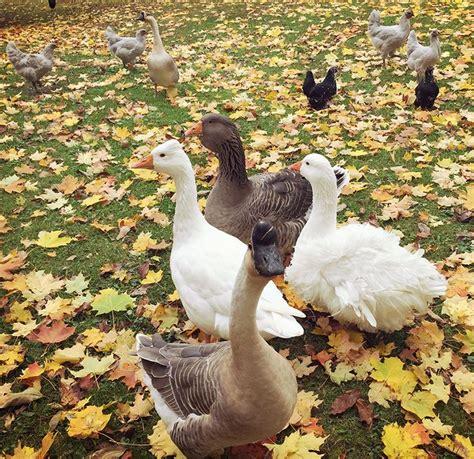 ducks for backyards 27 best ducks images on pinterest backyard chickens