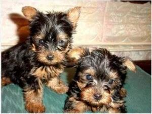 puppies brick nj top quality yorkie puppies for free adoption brick nj asnclassifieds