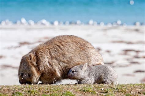 maria island walk    great walks  tasmania
