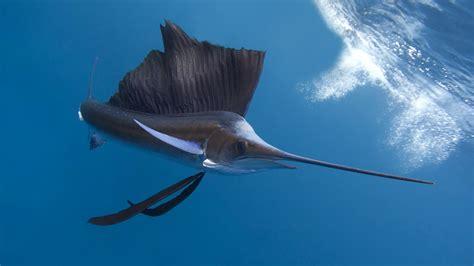 wallpaper pacific sailfish thailand indian ocean