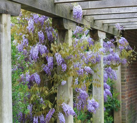 how to grow prune wisteria