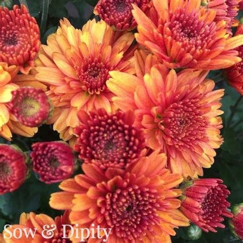 can fall mums survive frost how to care for fall mums