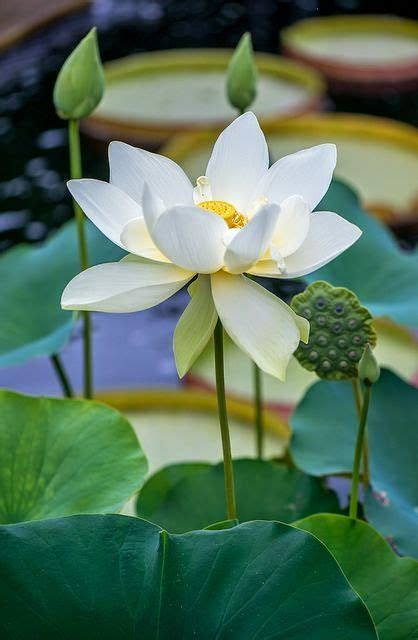 Our National Flower Lotus 25 Best Ideas About White Lotus Flower On