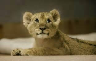 Cute lion cub neatorama