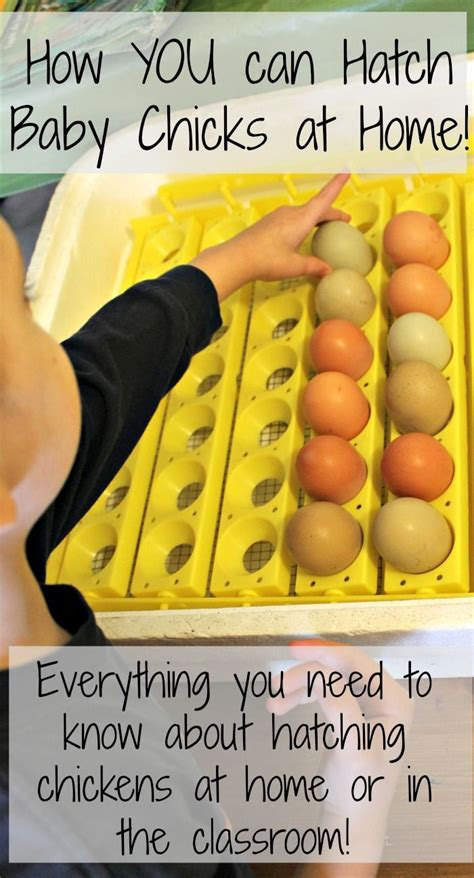 how to incubate chicken eggs with how wee learn