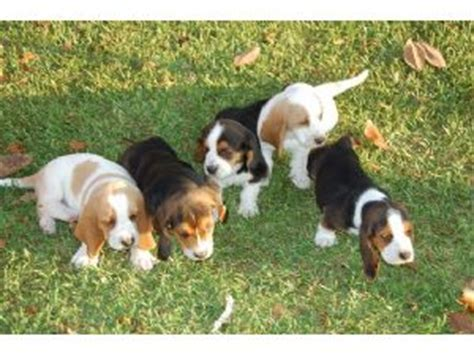basset hound puppies for sale in louisiana basset hound puppies in louisiana