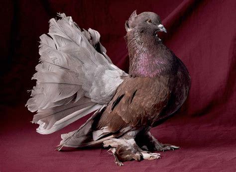 homing pigeons best homing pigeons
