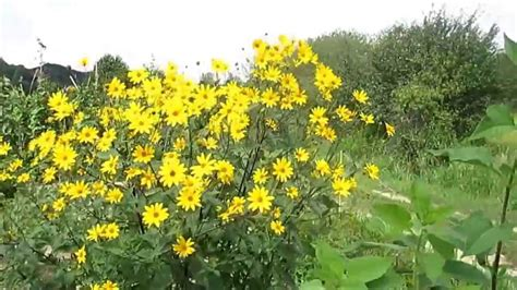 Topinambur Garten Pflanzen by Topinambur Stauden Heliantus Tuberosus