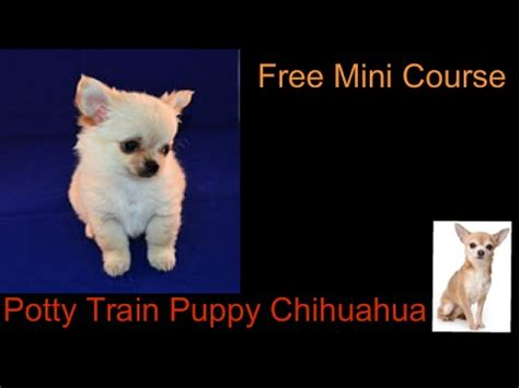 potty a chihuahua puppy get rid of my acne