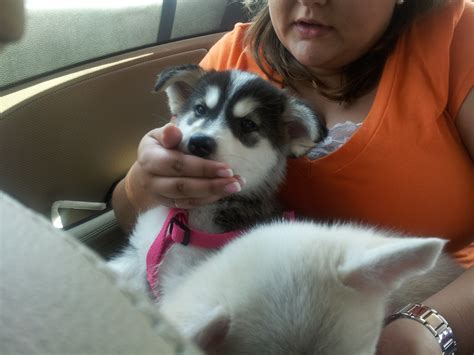 how much is a pomsky puppy how much is a pomsky memes