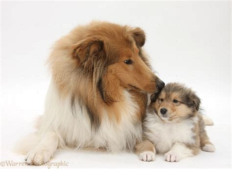 mutt puppies collie and puppy photo wp38065