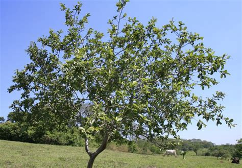 for tree the plant with medicinal properties guava psidium