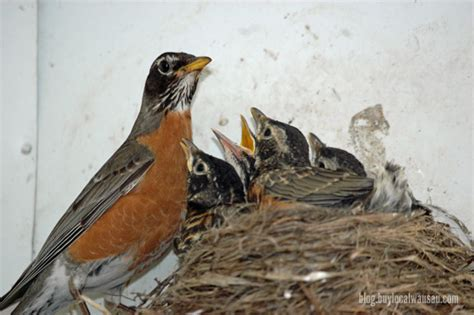 robins getting bigger almost ready to fledge buy local