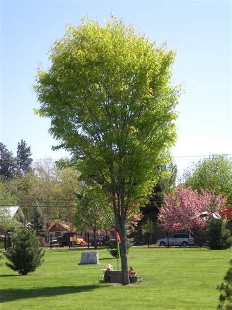 Green Vase Zelkova Problems by City Of Coeur D Alene Green Zelkova