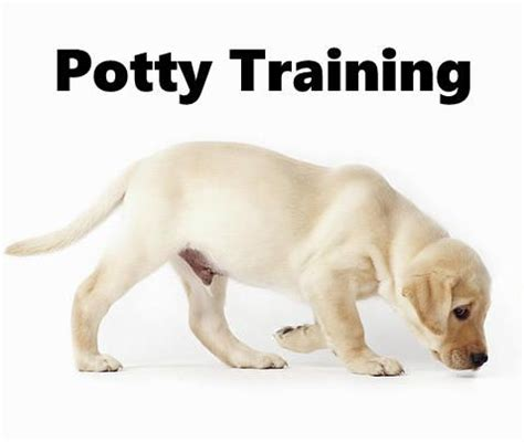 how to potty a lab puppy 17 best images about housebreaking puppies on potty
