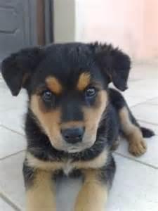 Craigslist Puppies Dogs On Craigslist Breeds Picture