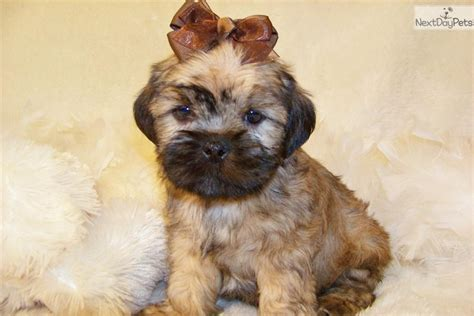 brussels griffon puppies for sale brussels griffon puppy for sale near st louis missouri f32e494b 1361