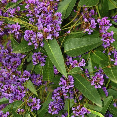 purple flowering shrubs australia australian seed hardenbergia violacea purple shrub form