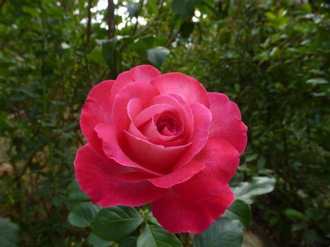 Tanaman Hias Bunga Mawar Floribunda Pink gambar menanam daun bunga berwarna merah muda flora