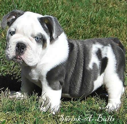for my awesome bulldogs infinity 1000 images about bulldogs on bulldog puppies
